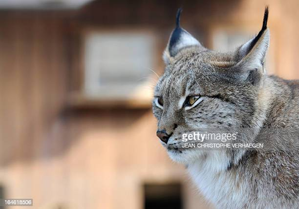 A photo taken on March 25 2013 shows an Eurasian lynx at a zoological park the eastern French city of Amneville AFP PHOTO / JEANCHRISTOPHE VERHAEGEN