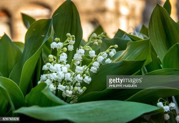 A photo taken on May 1 2016 shows bouquets of lily of the valley flowers for sale in Lille