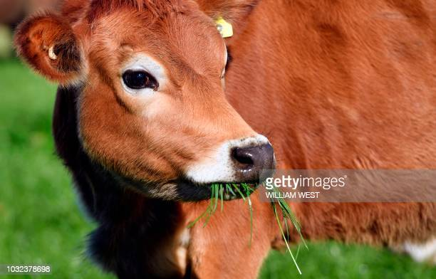 Photo taken on May 30, 2018 shows a young heifer grazing in a paddock on a dairy farm near Cambridge. - New Zealand's Fonterra, the world's largest...