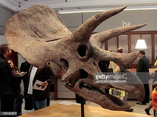 A photo taken on October 13 2011 at Sotheby's auction house in Paris shows a Triceratops dinosaur skull which was sold today 150000 euros AFP PHOTO /...