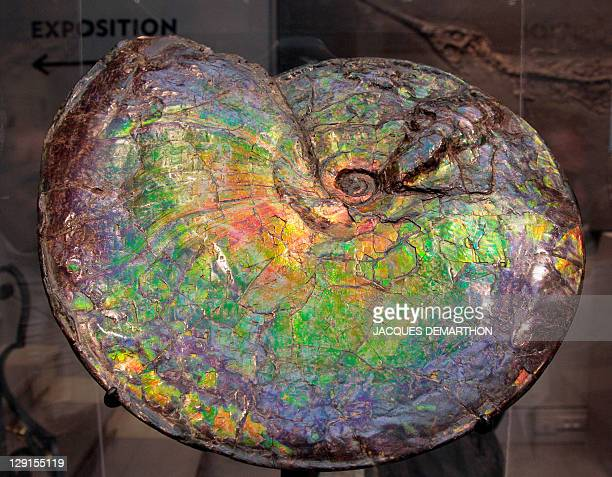 A photo taken on October 13 2011 at Sotheby's auction house in Paris shows an Ammonite Placenticeras which was sold today 110000 euros AFP PHOTO /...