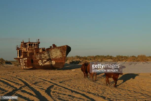 A photo taken on September 25 2018 shows cattle walking before a decommissioned boat in an area known as the 'ship graveyard' in Muynak near the Aral...