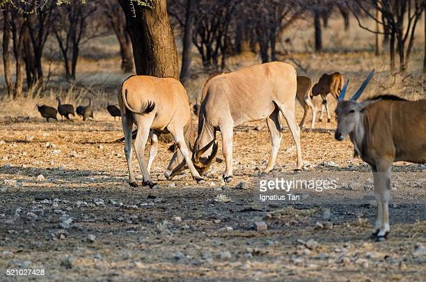 photobomb fighting common elands - ignatius tan stock photos and pictures