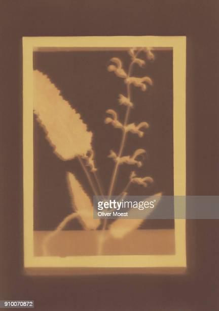 Photogenic drawing of Salvia pratensis plant specimen
