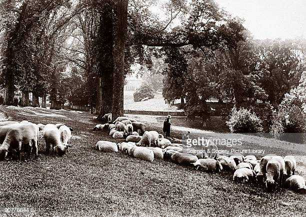 Photograph by Colonel Gale showing sheep grazing on parkland at Chenies a village in Buckinghamshire