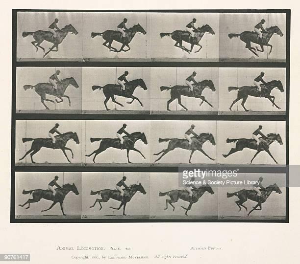 Photograph by Edweard James Muybridge BritishAmerican photographer and pioneer of animal sequence photography Muybridge photographed a horse using...