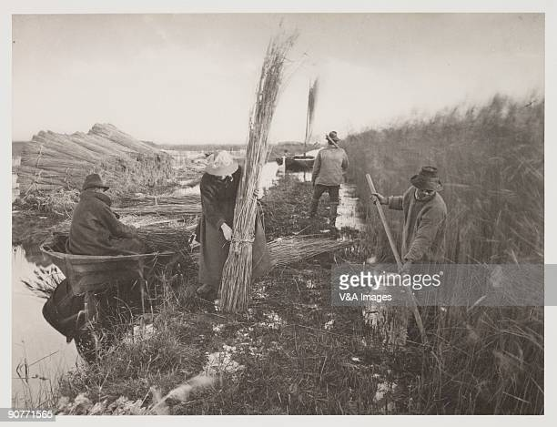 Photograph by Peter Henry Emerson showing reeds being harvested These were used for thatching