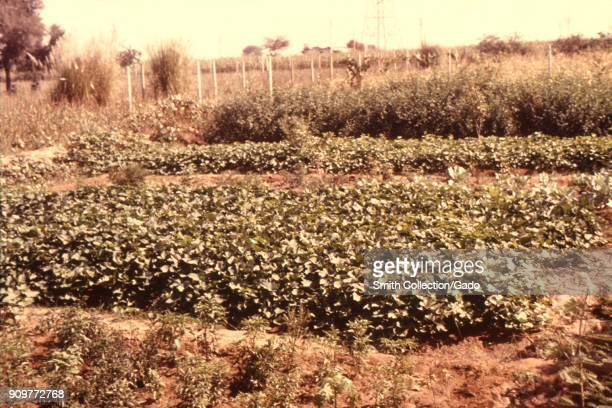 Photograph of a farm with crops irrigated with water from wells which can accumulate standing water and become breeding grounds for vectorborne...