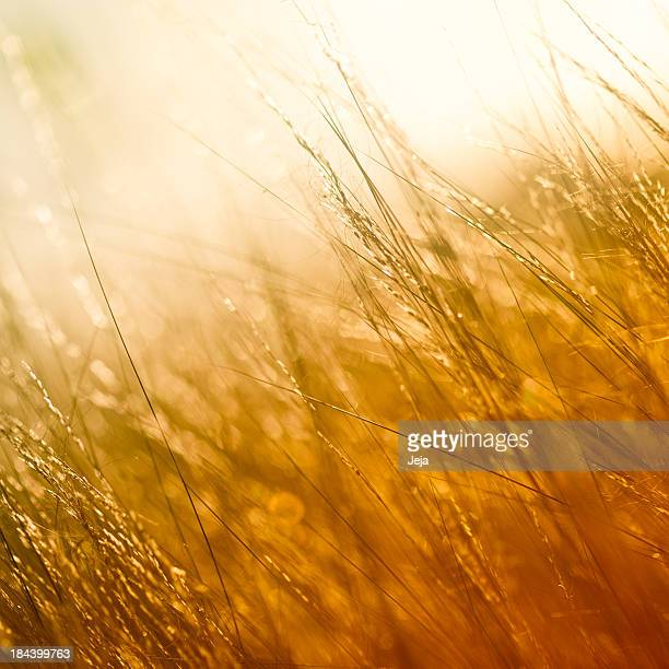 Photograph of a field in golden color
