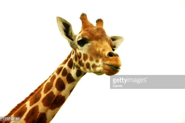 A photograph of a giraffes head on a white background