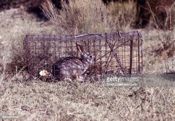 Photograph of a live adult rabbit caught in a metal trap set in a grassy area as part of a field study into arboviruses 1974 Image courtesy CDC