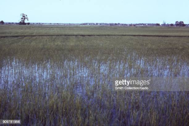 Photograph of a rice field with stagnant irrigation water a site relevant for the CDC investigation of vectorborne diseases in water resource...