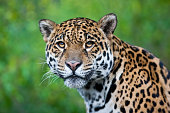 Photograph of a stunning Jaguar in the wild