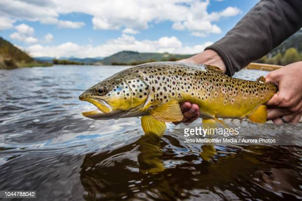 photograph of caught brown trout (salmo trutta) being released, big hole river, montana, usa - brown trout stock pictures, royalty-free photos & images