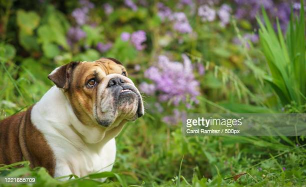 photograph of english bulldog with flowers in background - english bulldog stock pictures, royalty-free photos & images