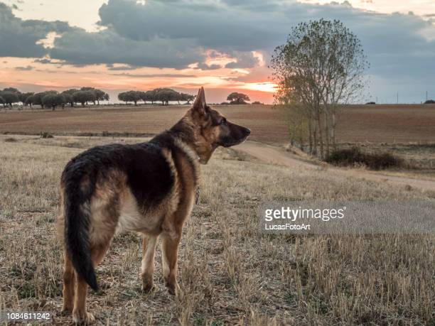 photograph of german shepherd with sunset landscape - german shepherd stock pictures, royalty-free photos & images