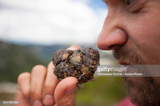 photograph of man smelling bear scat while mountaineering, chilliwack, british columbia, canada - bear feces stock photos and pictures