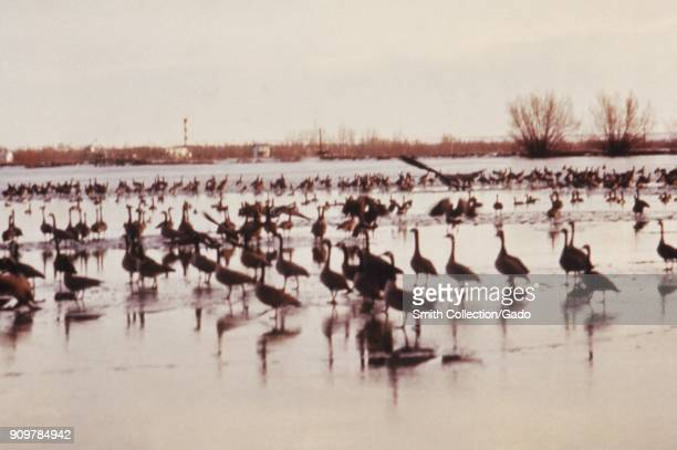 Photograph of numerous birds Canadian geese that had landed on College Lake in Colorado during a CDC investigation on minimizing risks associated...