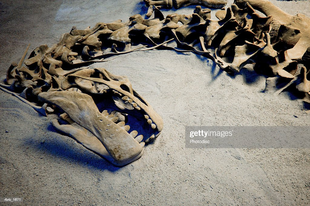 photograph of the fossil remains of a dinosaur skeleton : Foto de stock
