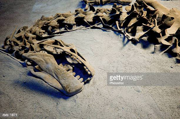 photograph of the fossil remains of a dinosaur skeleton