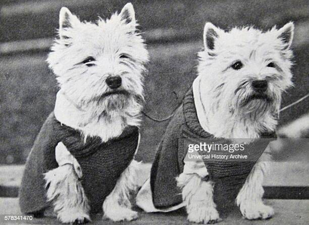 Photograph of two Dandie Dinmont Terrier, a small Scottish breed of dog in the terrier family. Dated 20th Century.