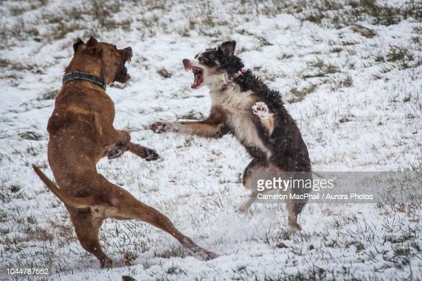 photograph of two dogs fighting while playing outdoors in winter, johnstown, ohio, usa - dog fight stock pictures, royalty-free photos & images