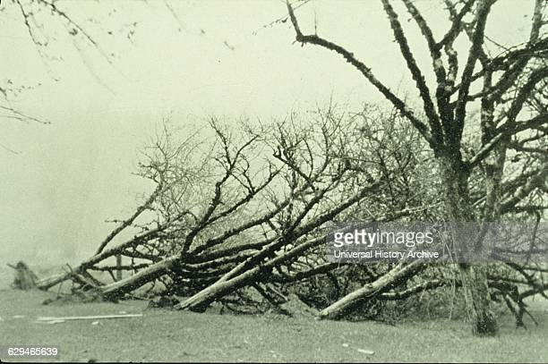 Photograph of uprooted trees caused by a freak gale in Oregon Dated 1931