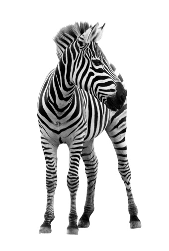 Photograph of young male zebra isolated on white background 164147551