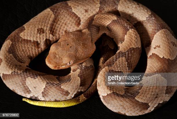 Photograph showing a birdseye view of the brown and tan patterned body and yellow tail of a coiled juvenile venomous Southern copperhead snake Image...