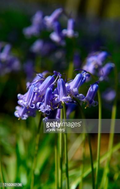 Photograph taken on April 15, 2020 shows wild bluebells, which bloom around mid-April, turning the forest completely blue and forming a carpet in the...