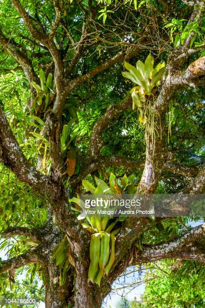 photograph with bromeliads on mango tree, boipeba island, south bahia, brazil - epiphyte stock pictures, royalty-free photos & images
