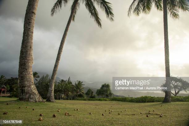photograph with fallen coconuts lying on lawn under palm trees, kauai, hawaii, usa - media_in_honolulu,_hawaii stock pictures, royalty-free photos & images