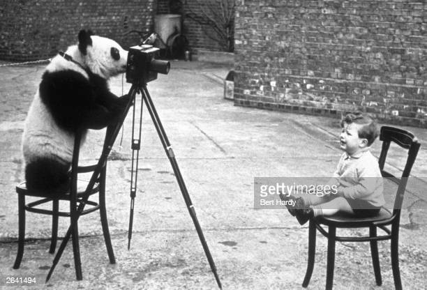Photographer Bert Hardy's son Mike Hardy being photographed by Ming the panda at London Zoo Original Publication Picture Post Our Favourite Invalid...