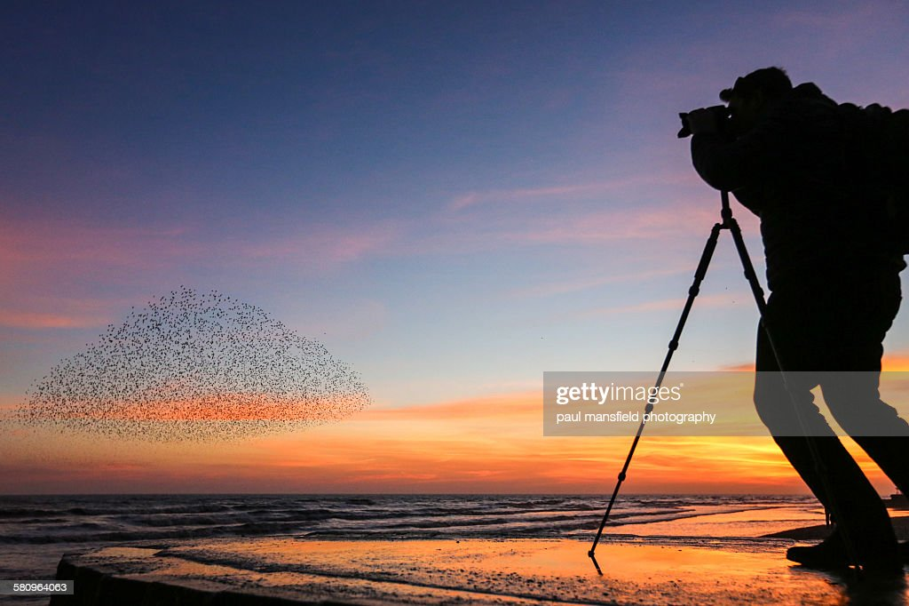 Photographer capturing starlings at sunset : Stock Photo