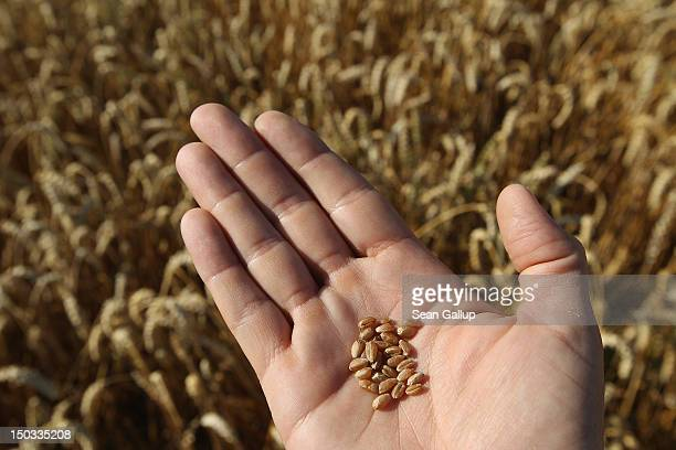 A photographer holds kernels of wheat in his hand in a field of wheat that is ready for harvest on August 15 2012 near Selbitz Germany Selbitz lies...