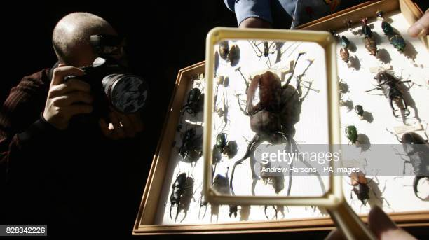 A photographer photographs a collection of beatles from the Alfred Russel Wallace Collection at the Natural History Museum London Friday February 10...