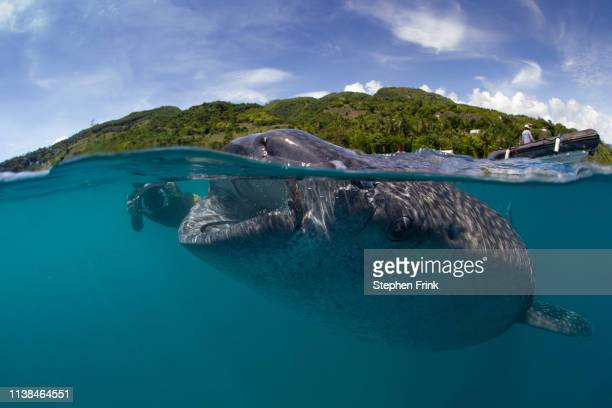 a photographer takes a picture of a whale shark . - cebu province stock pictures, royalty-free photos & images