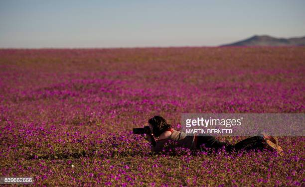 A photographer takes pictures of flowers blooming in the Huasco region on the Atacama desert some 600 km north of Santiago on August 262017 A...