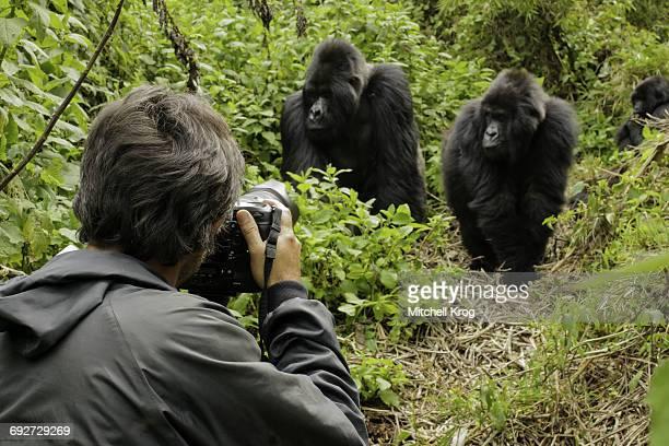 photographer taking photos of silverback mountain gorilla (gorilla gorilla beringei), parc national des volcans, rwanda, africa - gorila lomo plateado fotografías e imágenes de stock
