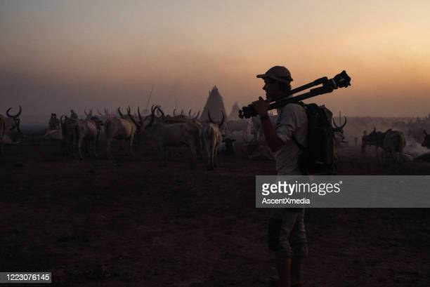 photographer walks in front of a cattle herd at sunset - film director stock pictures, royalty-free photos & images