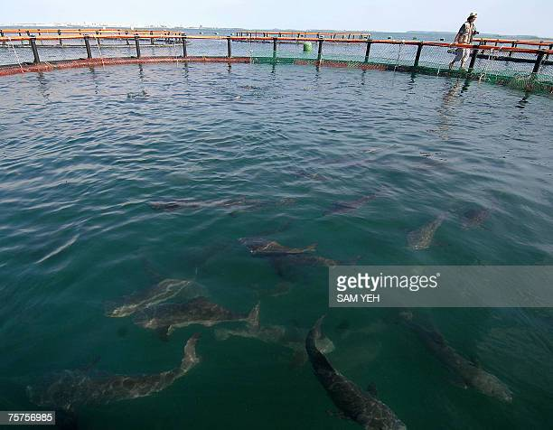 A photographer walks on a platform of cobia fish farm off the coast of Penghu County 26 July 2007 Frozen cobia with a wholesale price tag of 12 USD...