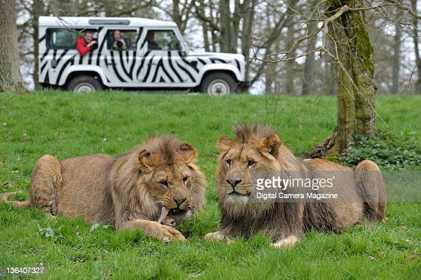 Photographers in a jeep taking pictures of lions at Longleat safari park Warminster April 5 2011