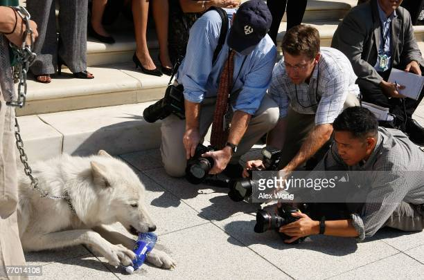 Photographers take pictures of fiveyearold Arctic Gray Wolf Atka at a news conference to introduce the 'Protect America's Wildlife Act' on Capitol...
