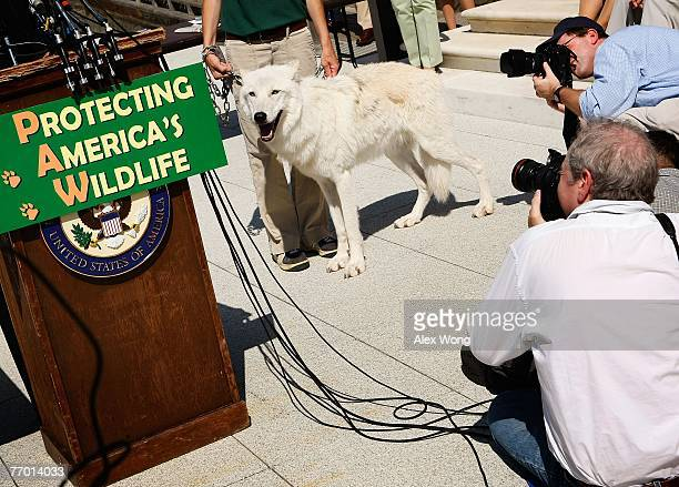 Photographers take pictures of fiveyearold Arctic Gray Wolf Atka leaving with Maggie Howell Managing Director of Wolf Conservation Center after a...
