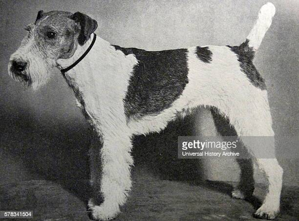 Wire Fox Terrier Stock Photos and Pictures | Getty Images