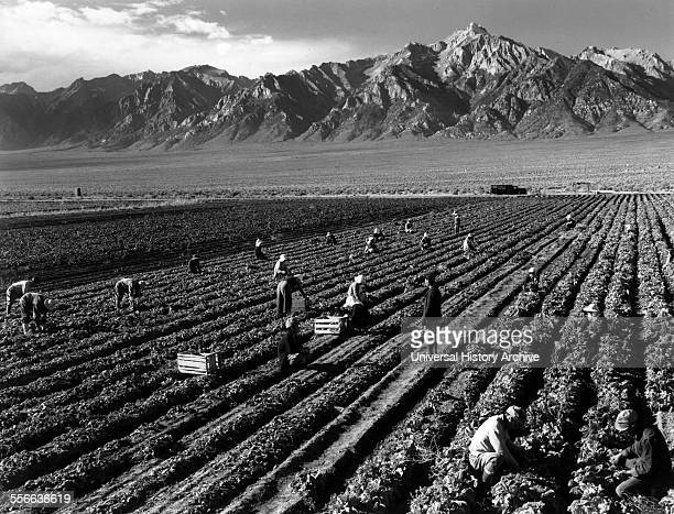 Photographic print of farm workers with Mt Williamson in the background Manzanar Relocation Centre Photographed by Ansel Adams American photographer...