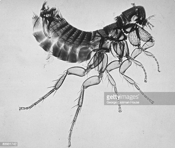 Photomicrograph of a flea ca1865 Belgium