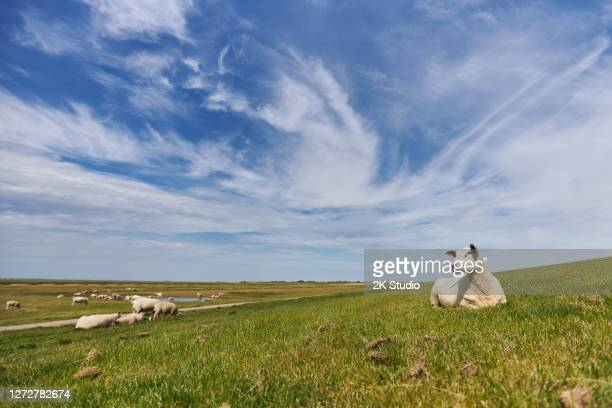 photos of a grazing flock of sheep and individual sheep near the german north sea on a dike - grazing stock pictures, royalty-free photos & images