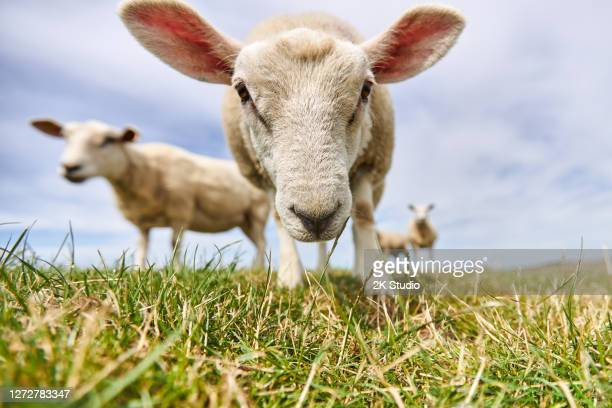 photos of a grazing flock of sheep and individual sheep near the german north sea on a dike - sheep stock pictures, royalty-free photos & images