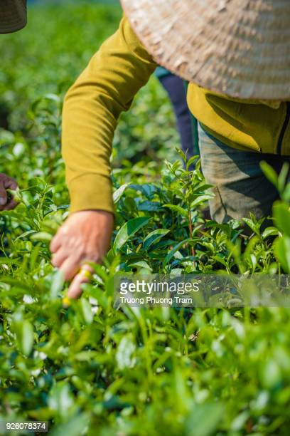 photos of people working on tea plantation, bao loc, lam dong, viet nam. - tea tree oil stock photos and pictures